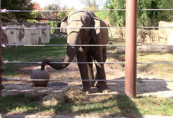 The Asian Elephant is one of the many endangered animals that inhabit the Smithsonian Zoological National Park. Three of the elephants have recently come in from Calgary Zoo in Calgary, Alberta.  Photo credit: Nikki Molina